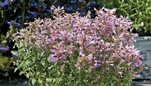 アガスターシェ苗『アリゾナ サンセット』 10.5センチポット 薄紫 耐寒性宿根草