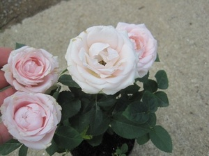 ミニバラ苗 『インフィニティローズ』 ピンク  現在花芽なし 3号ポット
