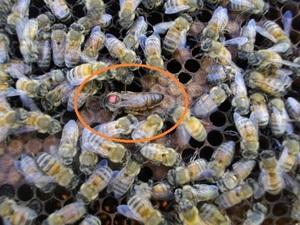 西洋蜜蜂ミツバチ5枚群 段ボール箱発送9-21