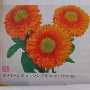 【花の種】キンセンカ オリオールズオレンジ 緑芯のきんせんか 30粒 レア 4種郵便にて発送