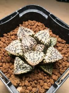 実生 未繁殖 ハオルチア 多肉植物 Haworthia ピクタ 実生苗 2 ビザールプランツ 珍奇植物 OH