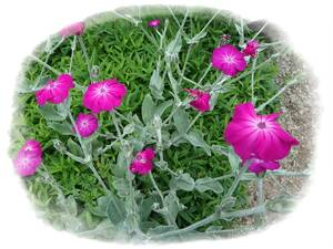 フランネルソウ ピンク 酔仙翁 20粒 自家採取 種 花が大好き
