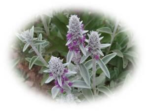 ラムズイヤー 10粒  ドライフラワーに 花が大好き 耐寒性多年草