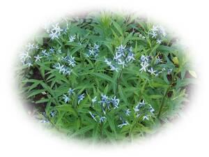 チョウジソウ 10粒 丁字草 宿根草 自家採取 耐寒性多年草 種 花が大好き