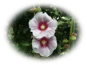 ホリホックタチアオイ 中ピンク外薄ピンク 10粒 種 立葵 花が大好き