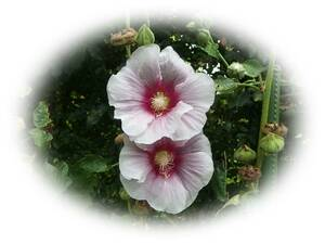 ホリホックタチアオイ 中ピンク外薄ピンク 10粒 立葵 種 花が大好き