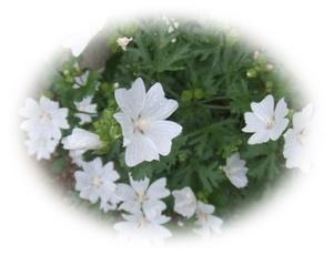ムスクマロウ 白 ジャコウアオイ 宿根草ハーブ 30粒 自家採取 種 花が大好き