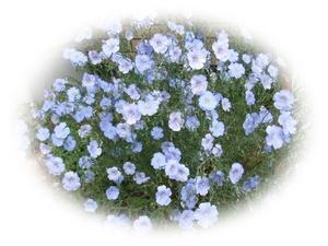 リン 15粒 フラックス 亜麻 アマ 種 自家採取 花が大好き