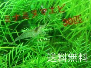 ミナミヌマエビ 30匹 赤いミナミヌマエビ チェリーシュリンプ アナカリス 水草 メダカ 金魚 ヤマトヌマエビ