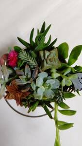 ★かわいい多肉植物 ハロウィン用ピック付き★ちまちま寄せ植え カット苗 観葉植物 卓上インテリア