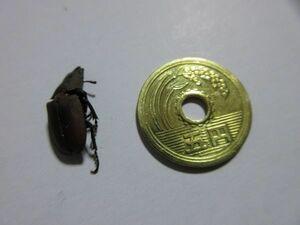 ●稀少:コツヤクワガタ(オス、18mm)クワガタ、標本