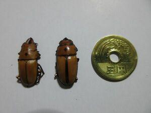 ●オキピタリスノコギリクワガタ(オス、メス2匹)クワガタ、標本
