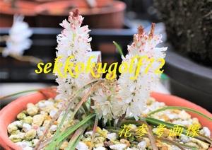 ★ 第四種可 世界の小型球根植物 ラケナリア バクマンニィー 1球 ★山野草 観葉植物 多肉植物 インテリア