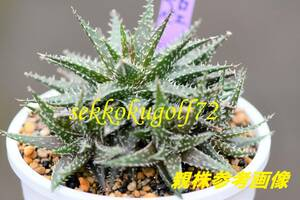 ★ 第四種可 多肉植物 アロエ ペペ 1鉢 ★山野草 ハオルチア サボテン エケベリア 観葉植物 インテリア