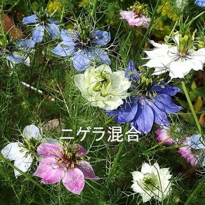 秋まき 花の種 ニゲラ・ペルシャンジュエル 50粒 ドライフラワー 一年草
