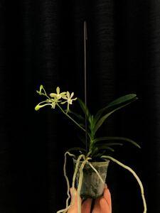 バンダ グリーンライト 洋蘭 No.1 吊り下げ 観葉植物