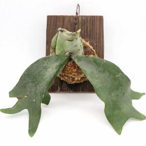 ビカクシダ ウィリンキー P. willinckii 板付け 超希少 観葉植物 コウモリラン プラティケリウム ビザールプランツ