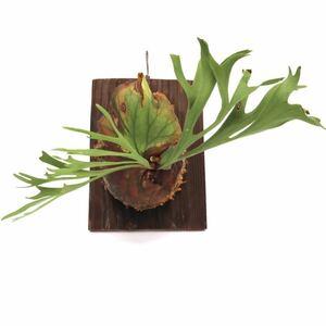 ビカクシダ キッチャクード P. 'Mt.Kitshakood thin rond 板付け 観葉植物コウモリラン ビザールプランツ