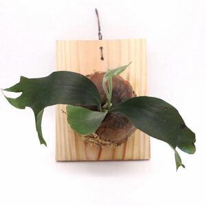 ビカクシダ マウントルイス P.Mt.Lewis 板付 観葉植物 コウモリラン ビザールプランツ P2108-10