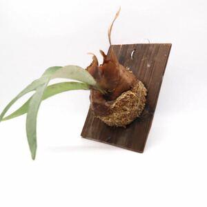 ビカクシダ ビーチー レモイネイ コウモリラン 板付 観葉植物 ビザールプランツ P2108-06