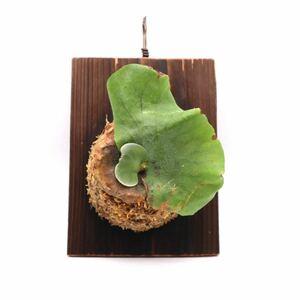ビカクシダ アンティス 送料無料 板付け P.Antis 観葉植物 P2108-17