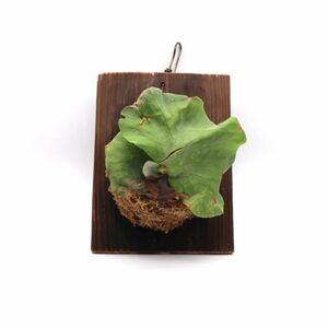 ビカクシダ アンティス 送料無料 P.Antis 板付け 観葉植物 P2108-18