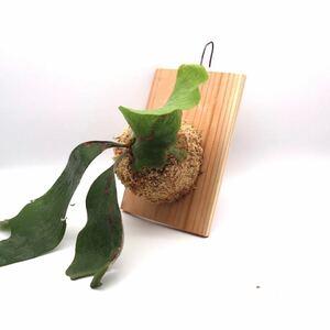 ビカクシダ ステマリア ホワイト 送料無料 P.stemaria cv.white 板付け 観葉植物 コウモリランP2108-12