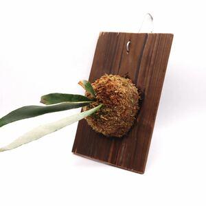ビカクシダ ビーチー ベイチー 送料無料 P.Veitchii コウモリラン 板付 観葉植物 ビザールプランツ P2108-20