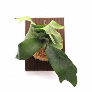 ビカクシダ ウィリンキー 送料無料 P. willinckii 板付け 観葉植物 コウモリラン プラティケリウム P2108-22