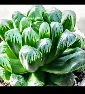 ハオルチア 多肉植物 おうち時間
