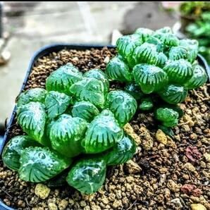 多肉植物 ハオルチア×2 おうち時間