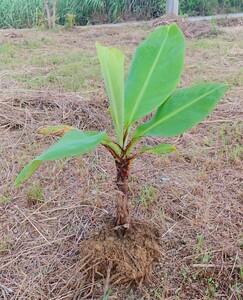 沖縄本島栽培苗 元祖島バナナの株分苗