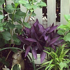 ムラサキオモト 珍しい斑なし 抜き苗 2本 根付き 水耕栽培も◎ おまけセダム付