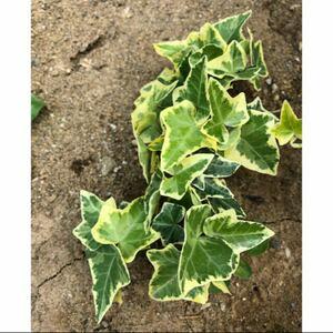 観葉植物 インテリア グリーン 斑入り アイビー ヘデラ 抜き苗 根あり