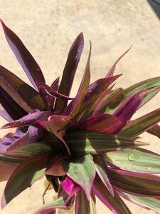 ムラサキオモト ムラサキゴテン 5cm程度 各1つ 抜き苗 根付き おまけ付