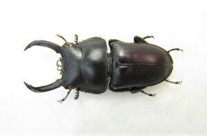 【標本】セグーコクワガタ(ベトナム北部YenBai)♂26ミリ+A2