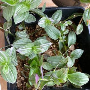 観葉植物 トラディスカンティア 抜き苗