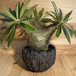 多肉植物 塊根植物 実生美形 パキポディウム グラキリス Pachypodium Gracilius × Gravity Meteor Pot S