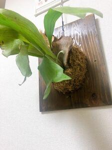 ☆大きめサイズ☆コウモリラン/ビカクシダ/板付け/インテリア/観葉植物⑩