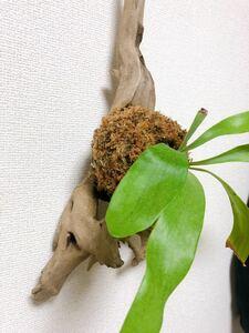 コウモリラン/ビカクシダ/流木/板付/インテリア/観葉植物⑫