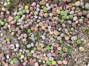 メセン 多肉植物 リトープス 100苗
