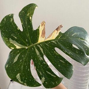 斑入りモンステラ 観葉植物