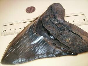 6.1インチ!15.4センチ!巨大 モンスター メガロドン サメの歯 見事な照りのエナメル 鮫 化石 鉱物 原石 観賞石 銘石 水石 メガロド