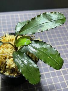 ★ブセファランドラ sp. スカダウセリエス★Bucephalandra sp. Sekadau Series ボルネオ産 タグ付き