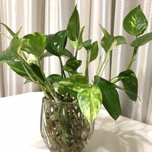 ポトス 観葉植物 苗 12本 発根済み
