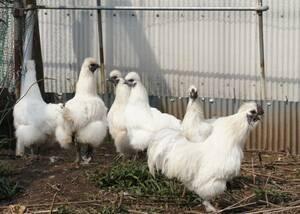 青玉白烏骨鶏の有精卵(種卵)5個+保証