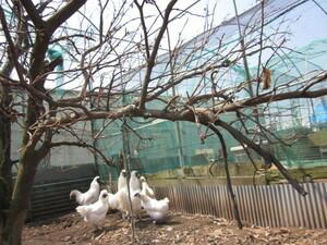 白烏骨鶏の有精卵(種卵)6個