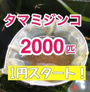 1円スタート!タマミジンコ2000匹以上!!めだか、金魚等の生餌!稚魚の生存率UPや色揚げに!ミドリムシ、ゾウリムシ などと共に!