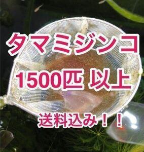 送料込み!タマミジンコ1500匹以上!! めだか、金魚等の生餌!稚魚の生存率UPや色揚げに!ミドリムシ、ゾウリムシ などと共に!