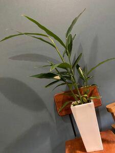 観葉植物 白桃 陶器鉢